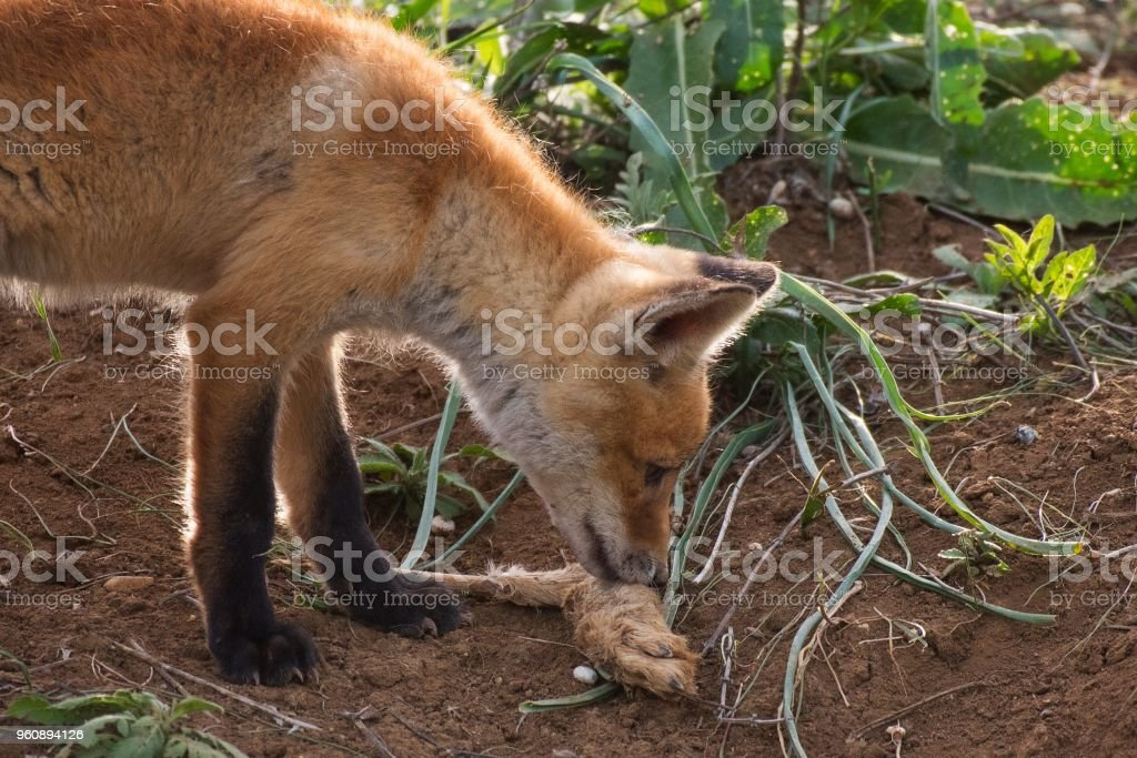 Kleiner Fuchs Fuchs mit den Resten der Beute - Lizenzfrei Europa - Kontinent Stock-Foto