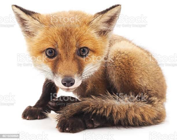 Little fox picture id601939868?b=1&k=6&m=601939868&s=612x612&h=hhg2exvitaxawl nbxpstd6bo1nls3eforwvjbx9gma=