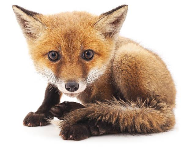 little fox. - zorro fotografías e imágenes de stock