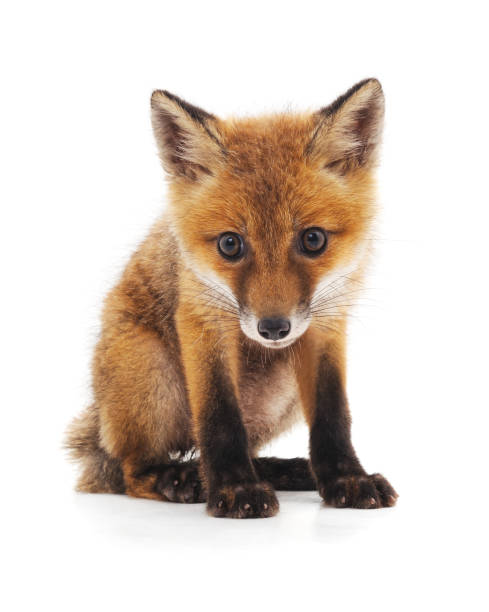 little fox. - fox stock photos and pictures