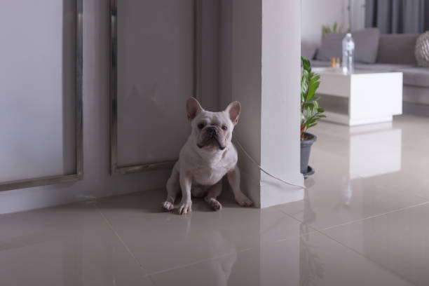 Little frenchie smile and look at camera stock photo
