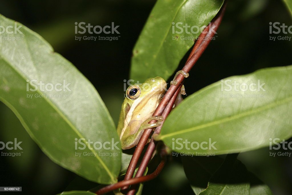Little frog in jasmine 2 royalty-free stock photo