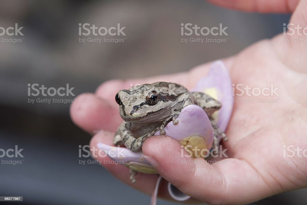 Little Frog royalty-free stock photo