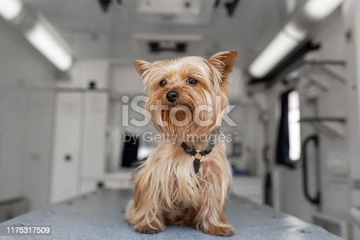 istock Little fun doggy yorkshire terrier posing on manipulation table inside pet ambulance car. Veterinary clinic promotion 1175317509
