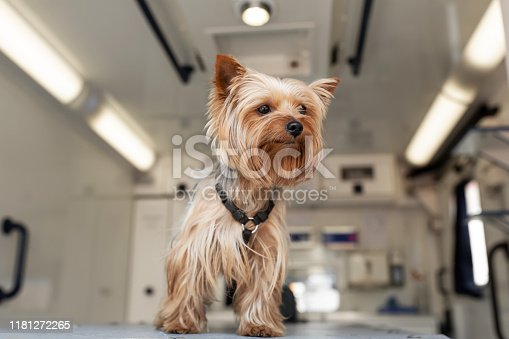 istock Little fun doggy yorkshire terrier posing on manipulation table inside pet ambulance car. Veterinary clinic promotion. 1181272265