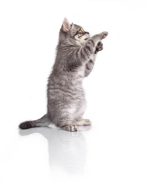 Little funny british kitten on hind legs picture id490965068?b=1&k=6&m=490965068&s=612x612&w=0&h=ix fu1mqyazgwmjpr3hrp pwciufzm6wzhonqlulssg=