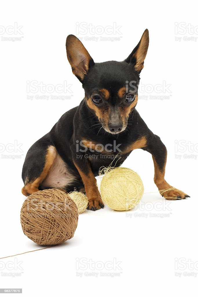 little funny dog royalty-free stock photo