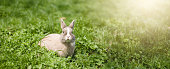 Little funny dwarf rabbit. Easter bunny on a green background. Copy space