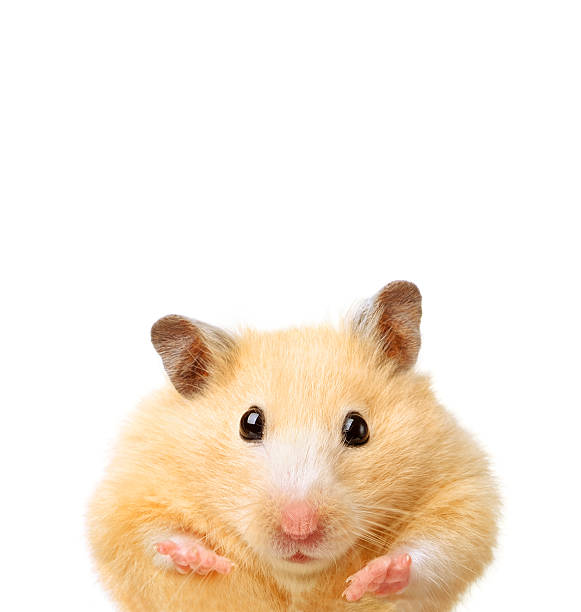 Little funny gamster Little funny gamster isolated on white animal hand stock pictures, royalty-free photos & images