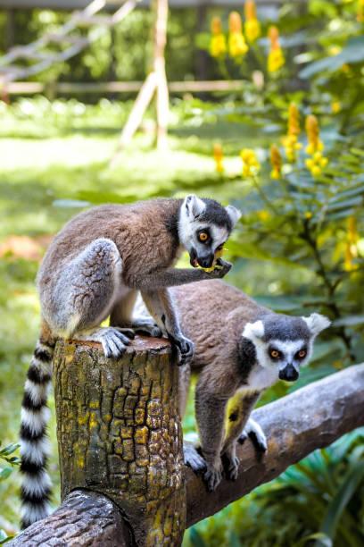 Kleine lustige Lemuren spielen auf den Zweigen. – Foto