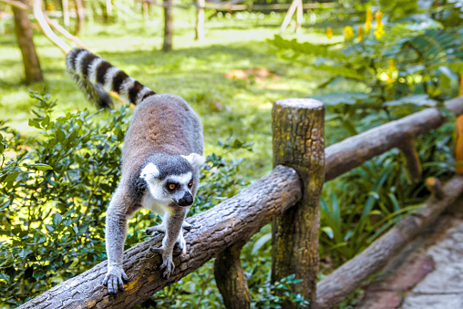 Little Funny Lemurs Play On The Branches Stock Photo ...