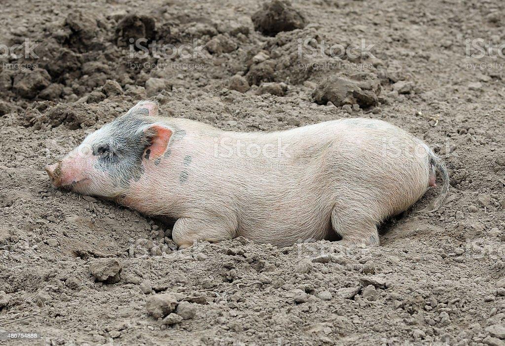 Photo Libre De Droit De Petit Drole De Cochon Se Trouvent Dans La Boue Banque D Images Et Plus D Images Libres De Droit De 2015 Istock