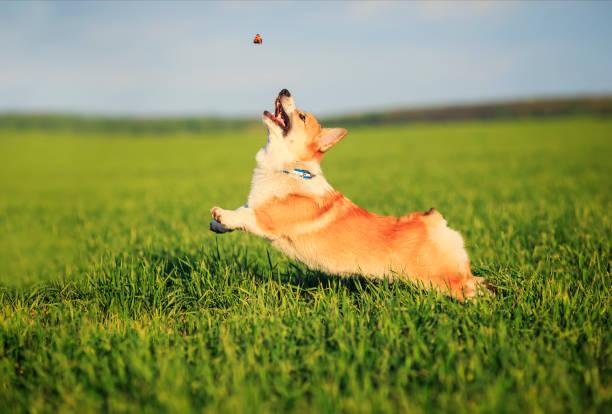 Little funny puppy corgi runs on a green meadow for a flying in a picture id1151047098?b=1&k=6&m=1151047098&s=612x612&w=0&h=qq5q2fc6kfscwxtmtpkutuc2o9 pduccoyw8szxrfoy=