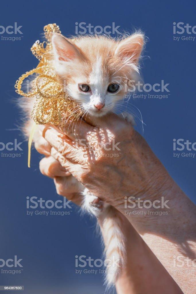 gatinho branco e gengibre manchinhas sentado nas mãos, com laço de fita no pescoço, como um presente em um fundo de céu - Foto de stock de Amarelo avermelhado claro royalty-free