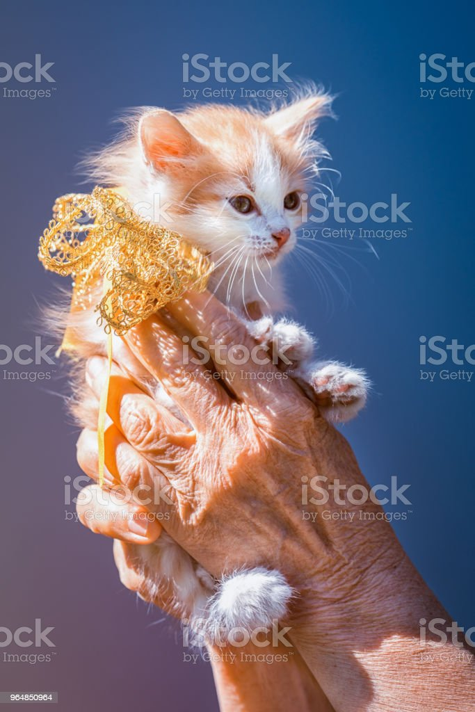 little ginger and white spots kitten sitting on the hands with ribbon bow on the neck as a present on a sky background royalty-free stock photo