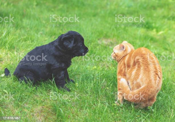 Little ginger kitten playing with little black puppy on the grass in picture id1218187467?b=1&k=6&m=1218187467&s=612x612&h=eymugv151wzdjo4c s1ugxvgnljlrp e wcmqlwtwq4=