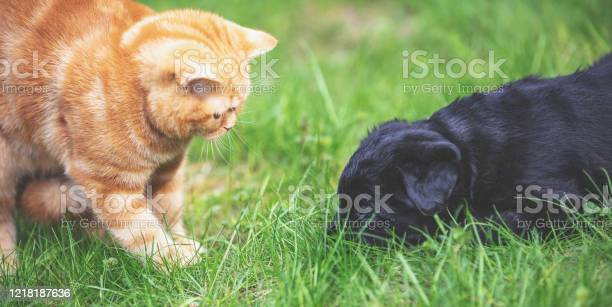 Little ginger kitten playing with little black puppy on the grass in picture id1218187636?b=1&k=6&m=1218187636&s=612x612&h=snamyljdnppyqo0ua1l90omblsod5rtlle8flwepwrc=
