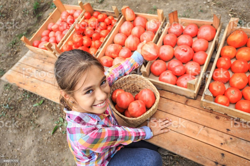 little girl arranging tomatoes in crates stock photo more pictures