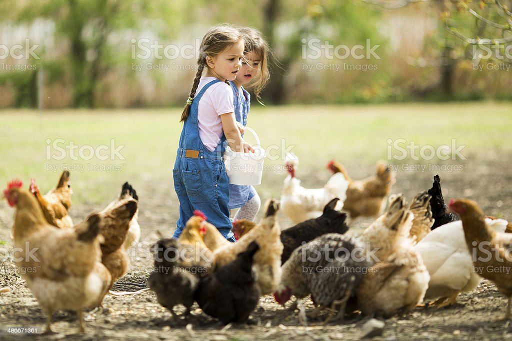 Little girl feeding chickens stock photo