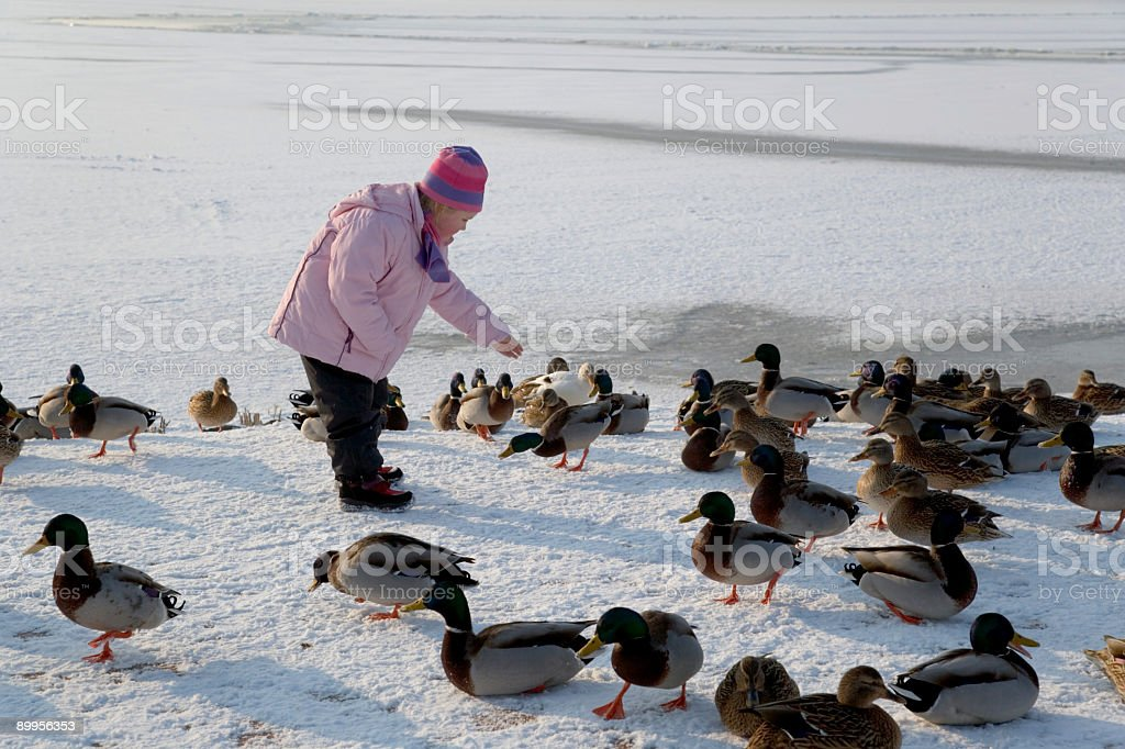 Little girl feeding mallards lakeside in winter (XXL) royalty-free stock photo