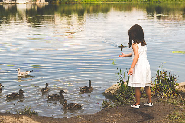Little girl feeding the ducks at the pond stock photo