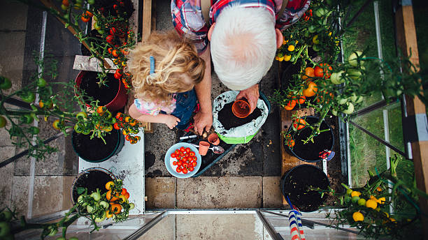 Little Girl Helping Grandad with the Gardening Overhead view of a little girl helping her Grandad plant tomatoes in a greenhouse in his garden. potting stock pictures, royalty-free photos & images