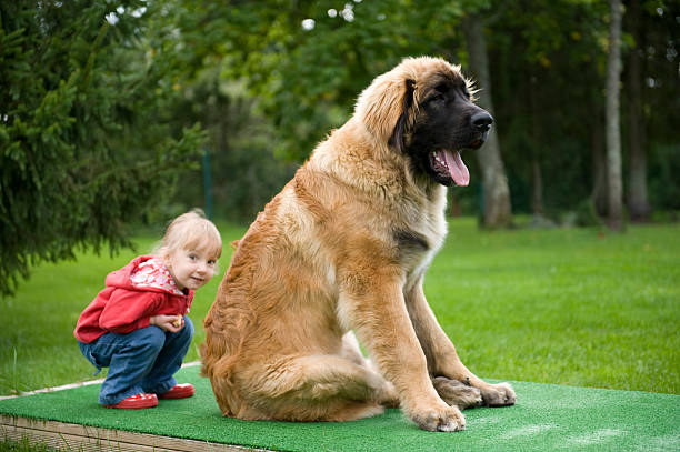 Little girl hiding behind a 6 month old Leonberger puppy stock photo