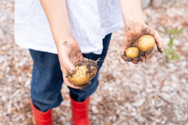 Little girl holding freshly dug potatoes stock photo