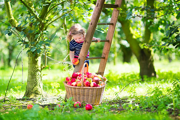 menina em um jardim de maçã - picking fruit imagens e fotografias de stock