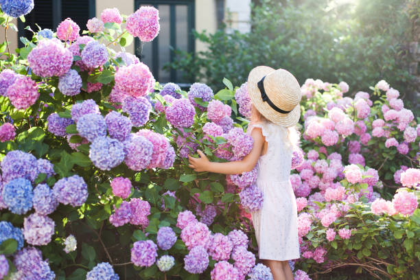 little girl in bushes of hydrangea flowers in sunset garden. flowers are pink, blue, lilac and blooming by country house. kid is in pink dress, straw hat. romantic concept of childhood, tenderness. - hortensja zdjęcia i obrazy z banku zdjęć