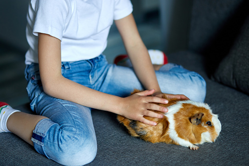 Little girl in mask playing with red guinea pig, cavy at home at sofa while in quarantine. Child with her pet friend. Coronavirus stay at home, stay safe relax concept. Isolation at home to prevent virus epidemic.