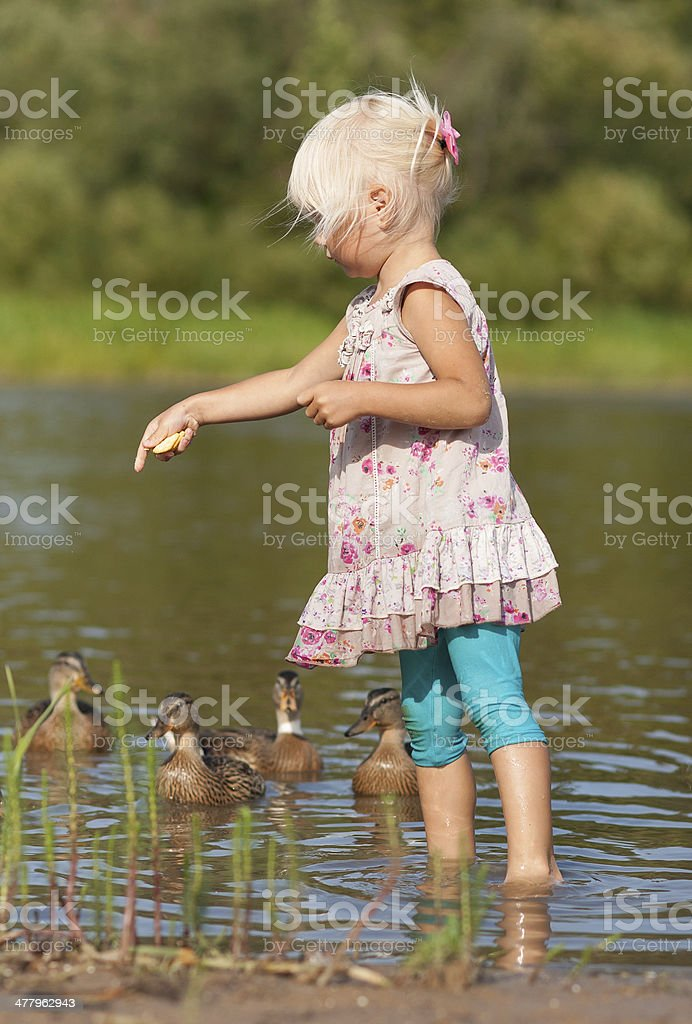 Little girl in water feeding ducks with biscuits stock photo