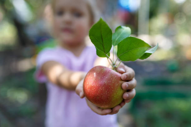 Little girl is holding the beautiful ripe red apple with green leaves stock photo
