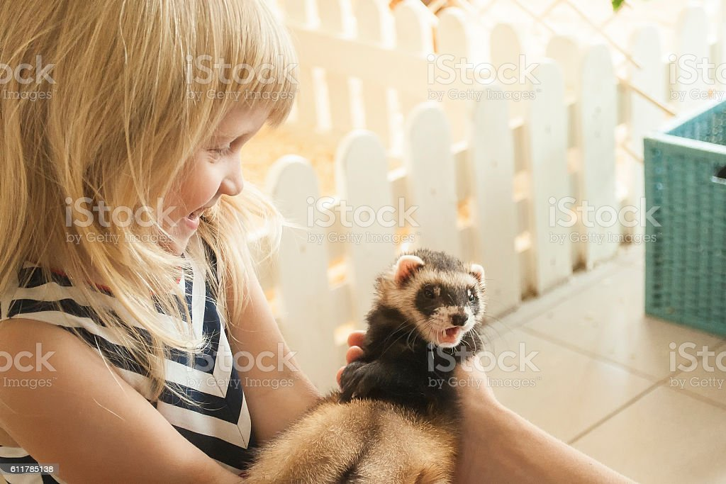 Little girl is taking a ferret in her arms stock photo