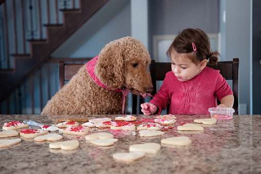 Little girl and dog at the table decorating valentine's day cookies.