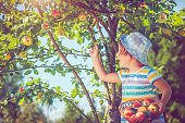 Child picking apples from a tree in autumn