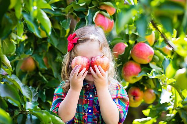 kleine mädchen pflücken äpfel von baum in einem obstgarten - obstgarten stock-fotos und bilder