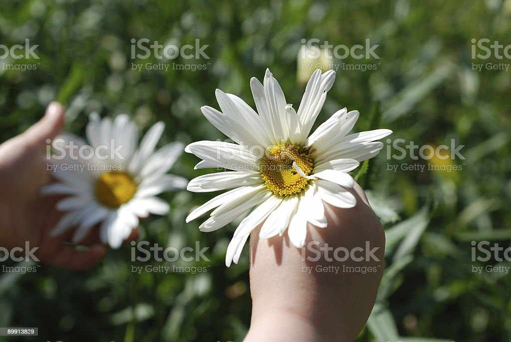 Little girl picking big daisy flowers royalty-free stock photo
