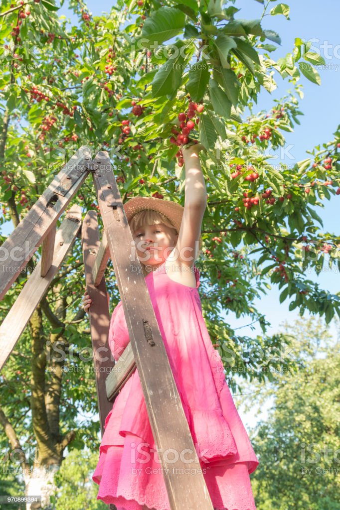 Little girl picking cherry. stock photo