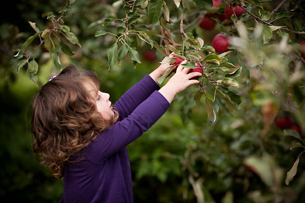 Little Girl Picking Fresh Apples from Tree in Orchard stock photo