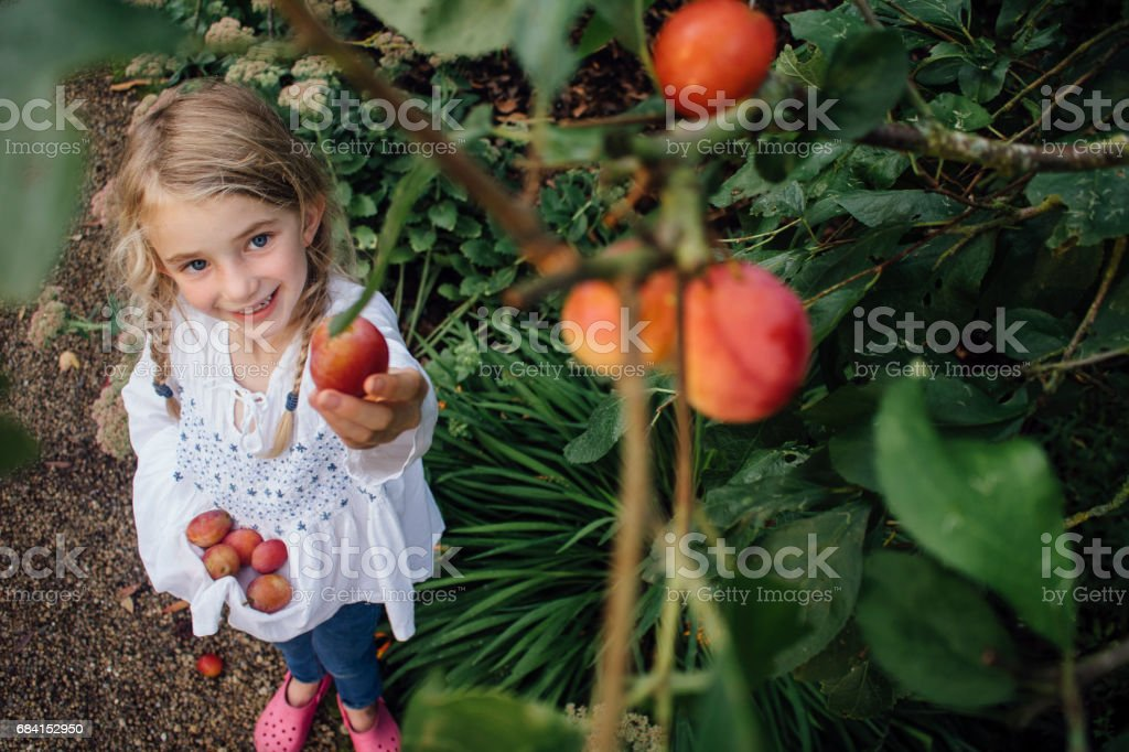 Little Girl Picking Plums stock photo