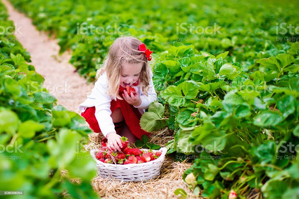 Little girl picking strawberry on a farm field stock photo