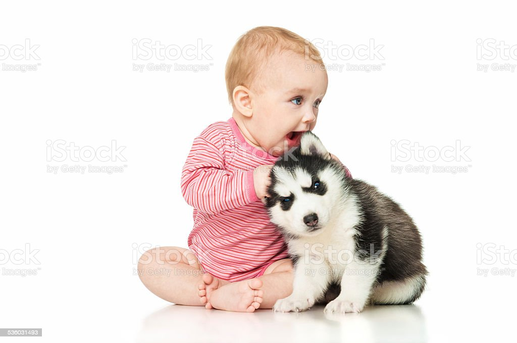 Little girl playing with a puppy husky stock photo
