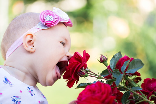 Little girl sniffing a red rose.