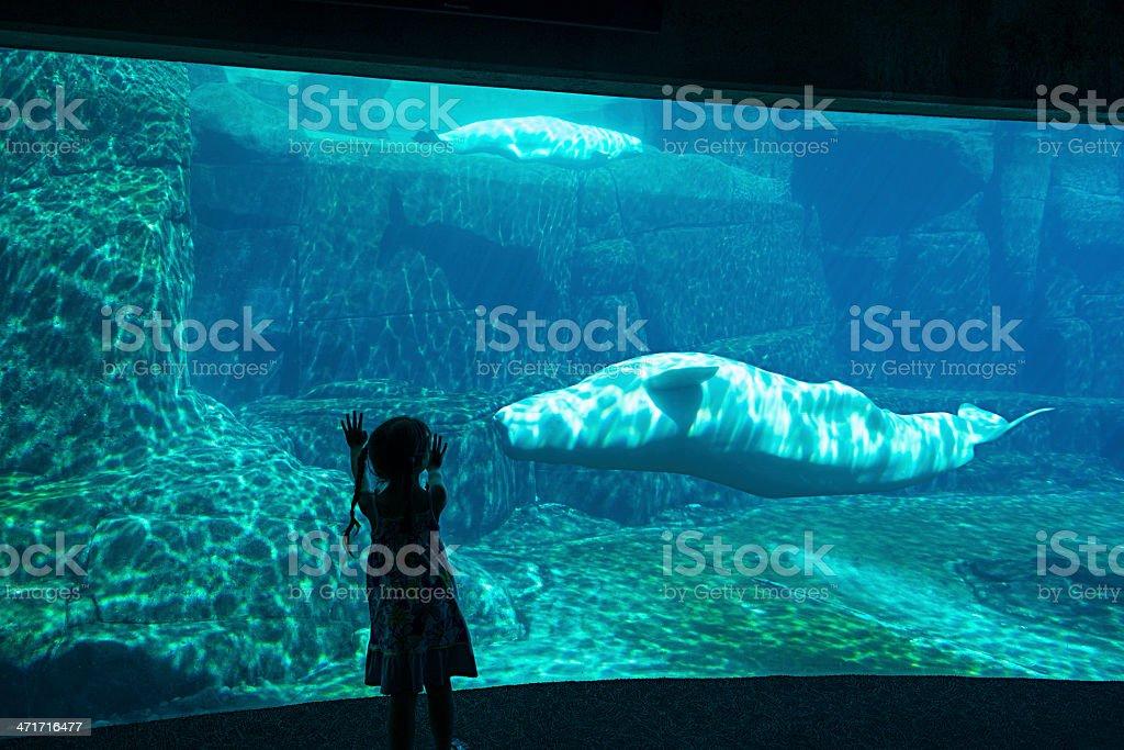 Little Girl Watching Belugas At Aquarium stock photo