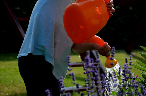 little girl wateres an orange watering can a bed of blooming lavender. summer work in the garden with the help of a toddler, preschool