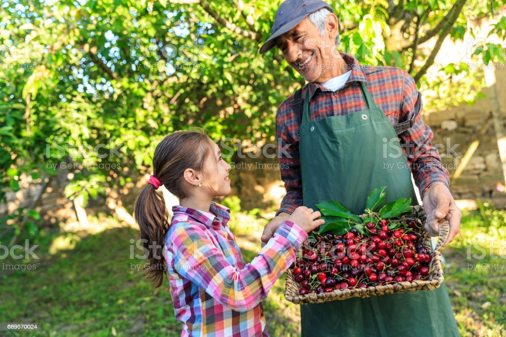 Little girl with his grandfather in cherry garden stock photo