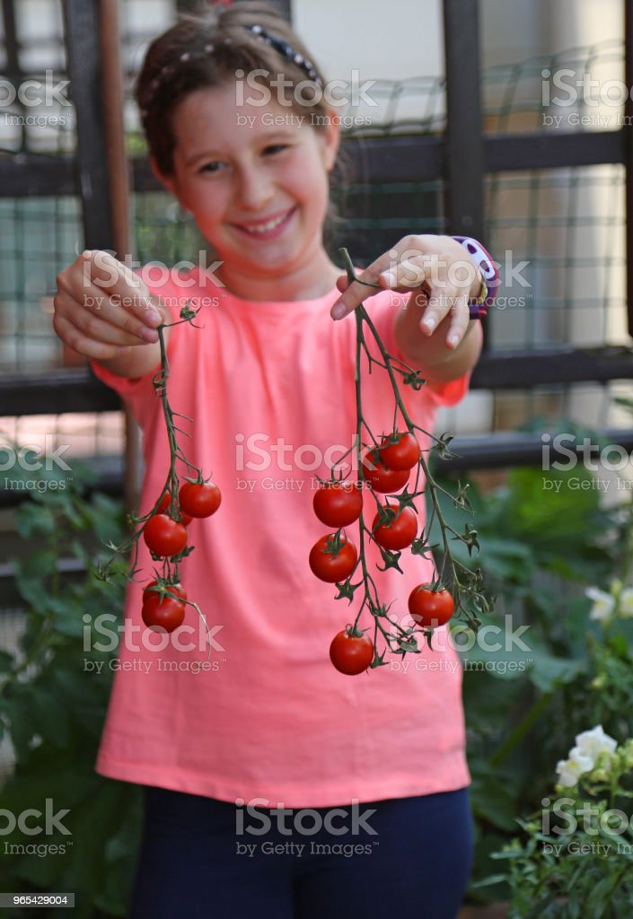 little girl with pink t-shirt that has picked red tomatoes royalty-free stock photo