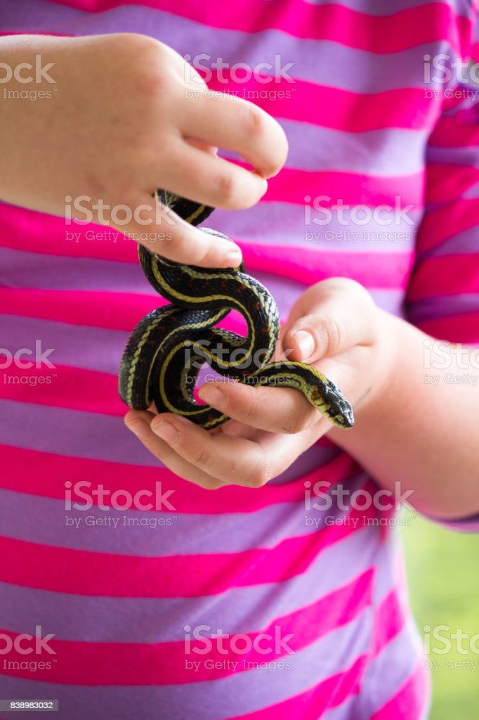 little girls hands holding a coiled yellow striped black garter snake stock photo