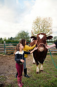 Two mixed-race little girls petting a placid tamed bull on a farm. Bull seems to like being stroked and girls are impressed. Girls are wearing warm clothes on a sunny autumn day. Vertical full length outdoors shot with copy space.